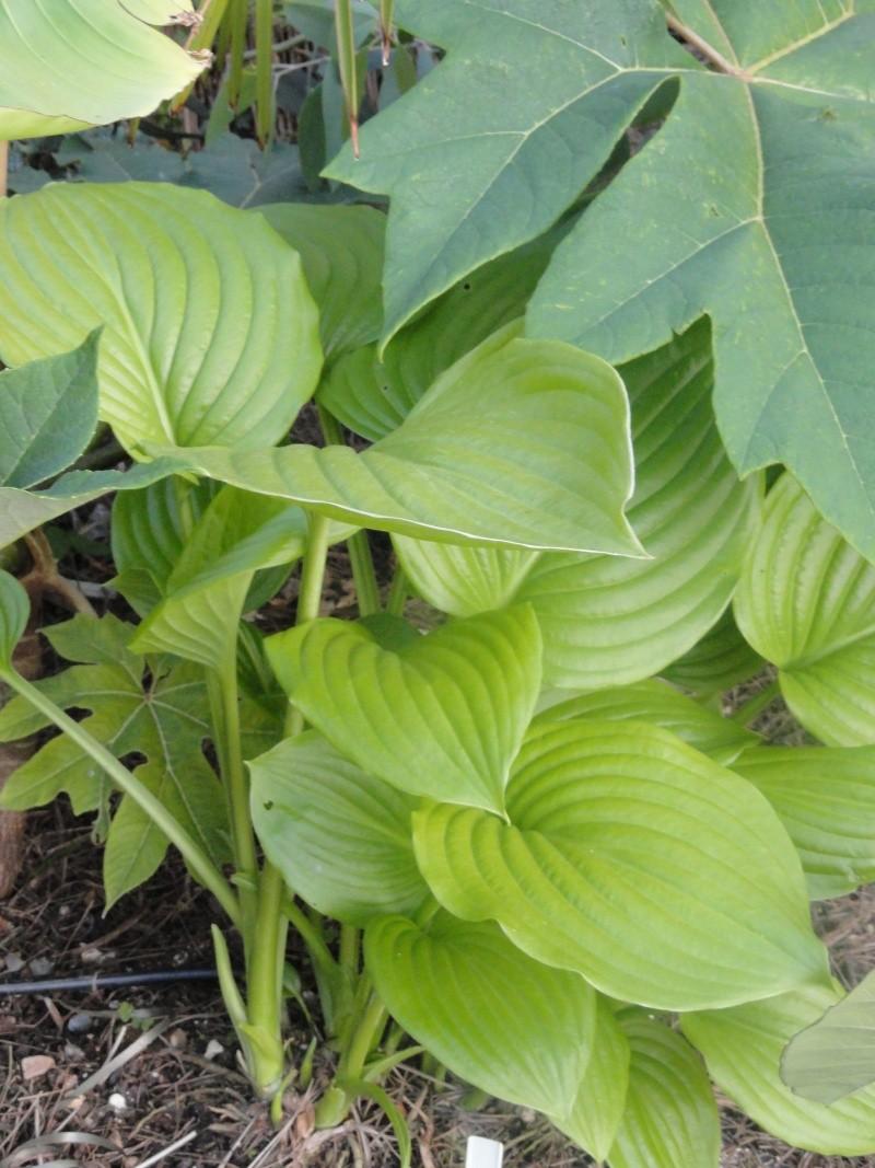 hosta Plantaginea Grandiflora - Page 2 Dsc00913