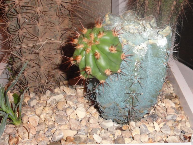 Cactus & co en climat tempéré Dsc01215