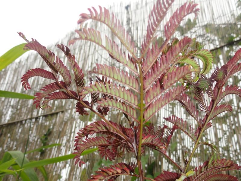Albizia(ou arbre a soie) Dsc01616