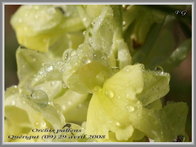 Orchis pallens dans les Pyrénées.  Orchis14