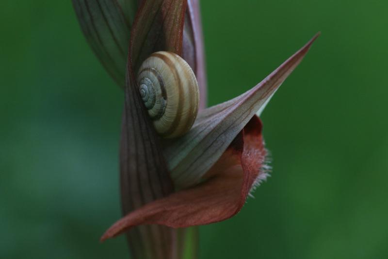 Un escargot sur serapias. Serapi10