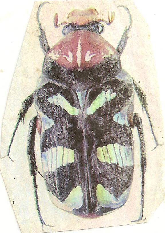 Cétoine du Cameron Insect10