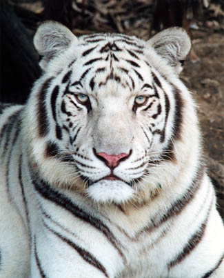 Mon nouveau BB Tiger! - Page 3 Whitet10