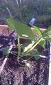 Slow growth, yellow leaves Squash10