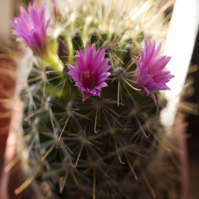 Flowering Mammillarias M_crin13