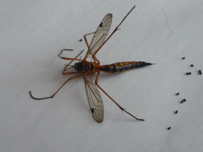 [Ctenophora sp.] est-ce une variété de Tipule ? Copie_23