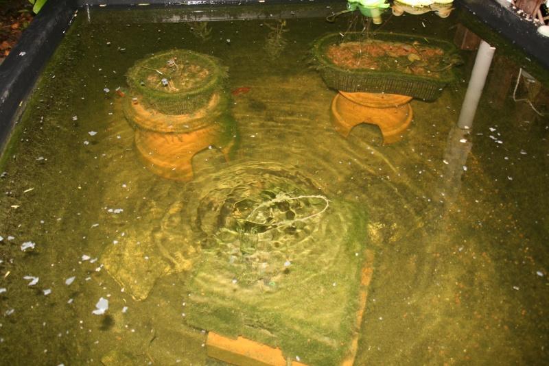 Bassin de mes carpes KoÏ 34 Img_7010