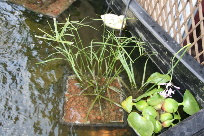 Bassin de mes carpes KoÏ 34 Img_8410