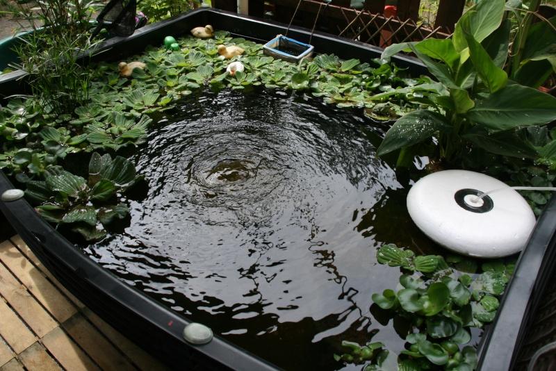 Bassin de mes carpes KoÏ 34 Img_9514