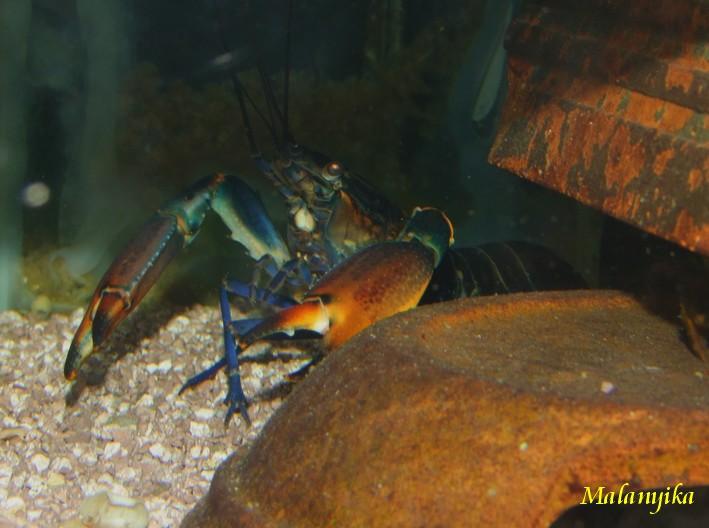 Arrivage des invertebres d'eau douce - Malanyika Cherax12