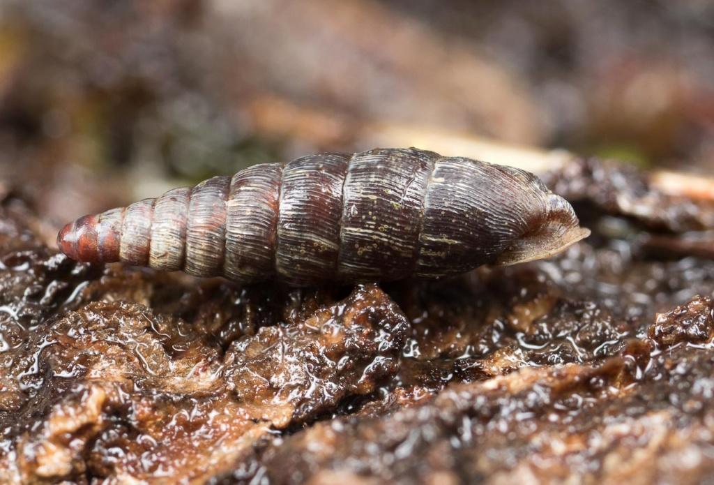 Clausiliidae Escarg24