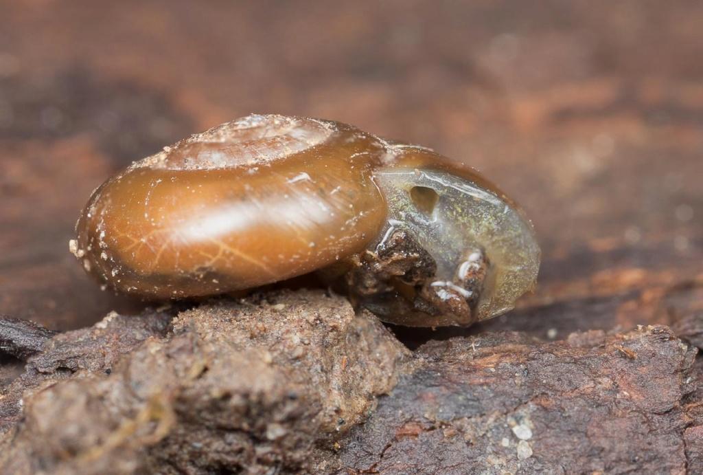 Aegopinella nitidula ? Escarg45