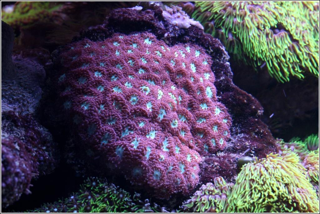 photos de poissons et coraux  - Page 7 Coraux19