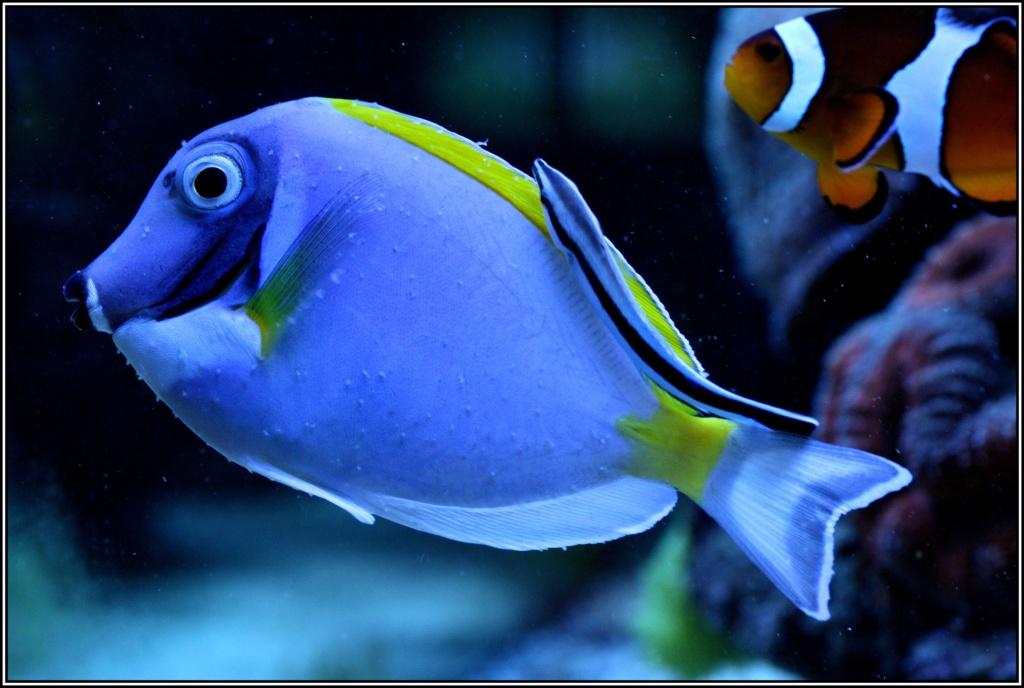 photos de poissons et coraux  - Page 4 Phottt12