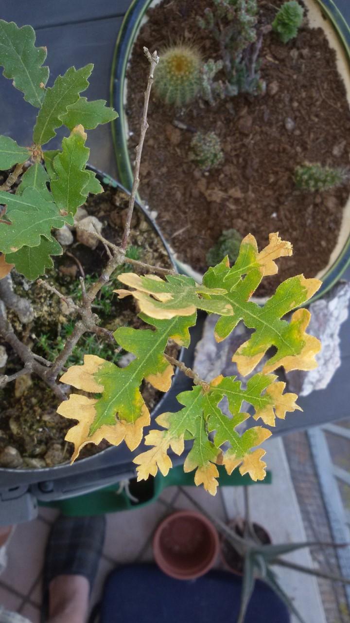 foglie quercia che si stanno seccando Thumbn10