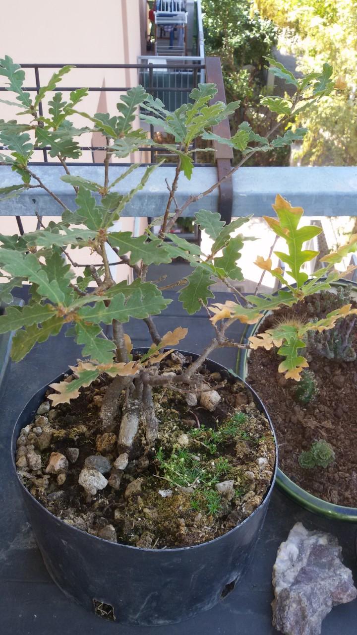 foglie quercia che si stanno seccando Thumbn12
