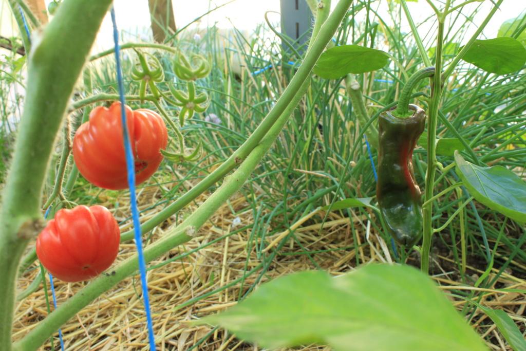 La serre aux Tomates Img_4315