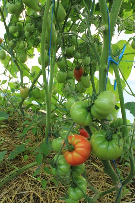 La serre aux Tomates Img_4317