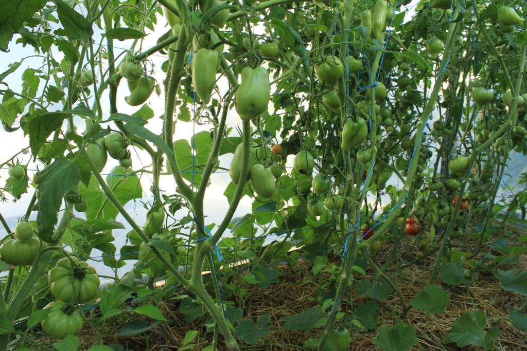 La serre aux Tomates Img_4318