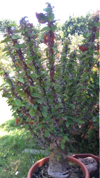 Euphorbia croizatii Dsc_0013