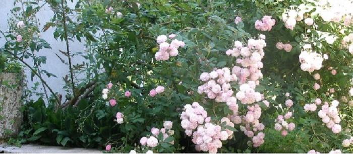 MON JARDIN Roses_10