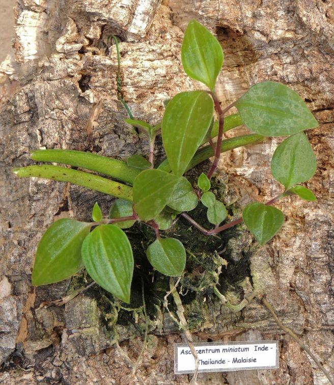 Plantes parasites Ascoce10