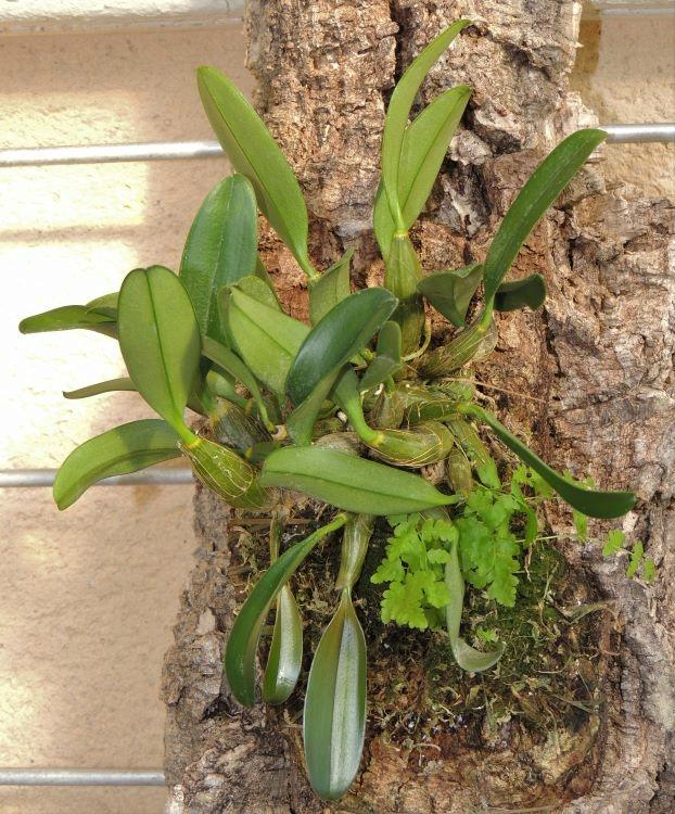 Plantes parasites Dendro15