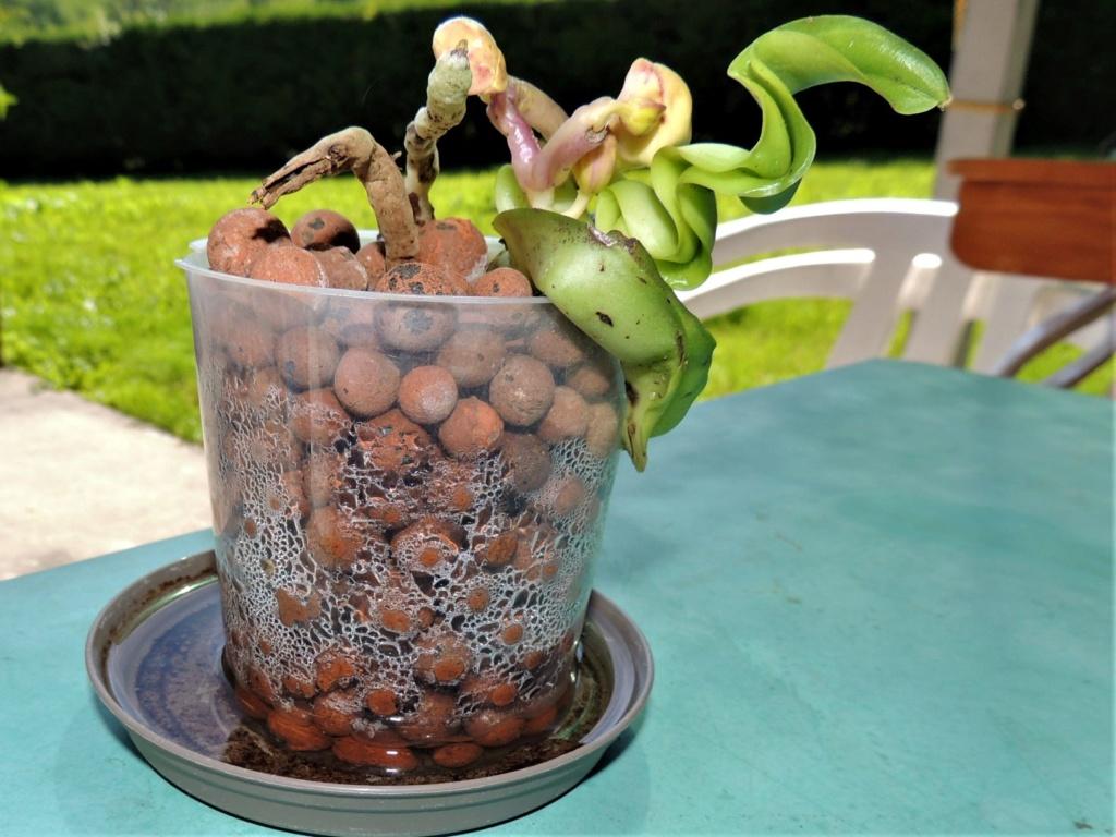 Faux départ d'un Phalaenopsis Dscn5612