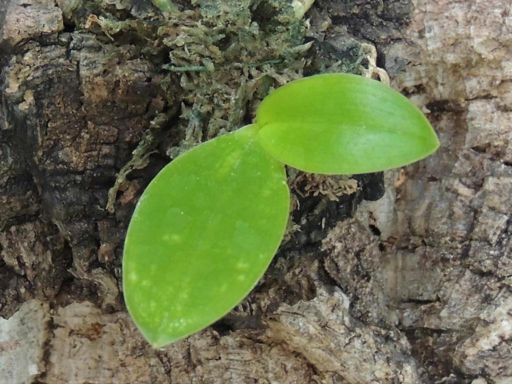 Problème Phalaenopsis cornu cerci x Speciosa Dscn6710