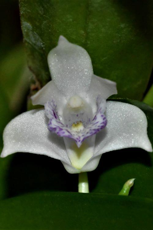 Dendrobium kingianum  Dscn7112