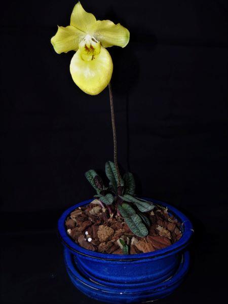Paphiopedilum armeniacum Dscn7210