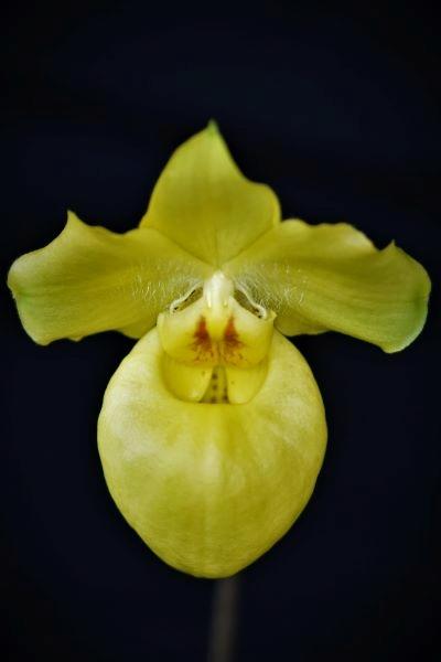 Paphiopedilum armeniacum Dscn7211