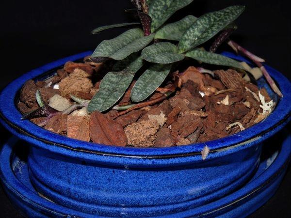 Paphiopedilum armeniacum Dscn7212