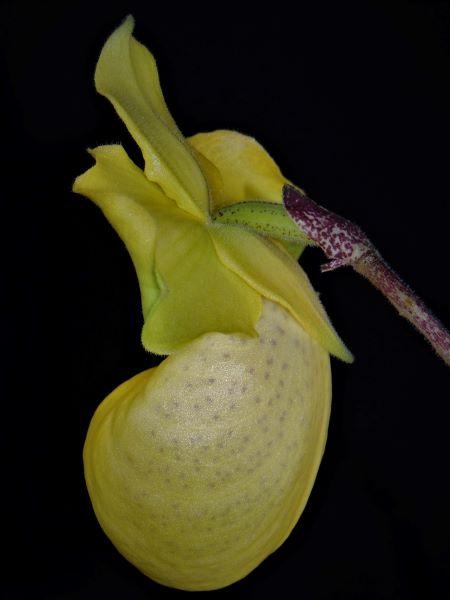 Paphiopedilum armeniacum Dscn7213