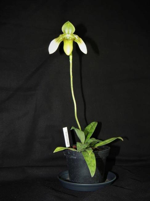 Paphiopedilum wolterianum Dscn7218