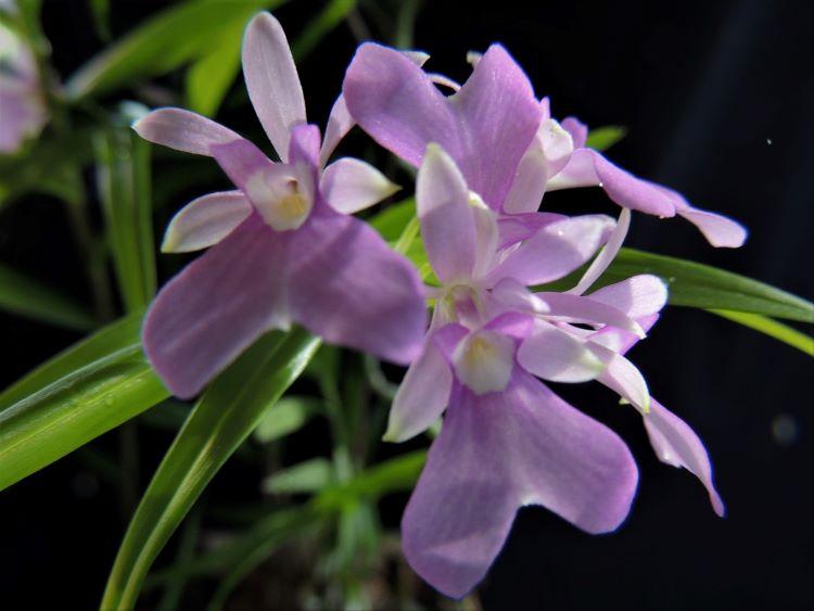 Epidendrum centropetalum Epiden13