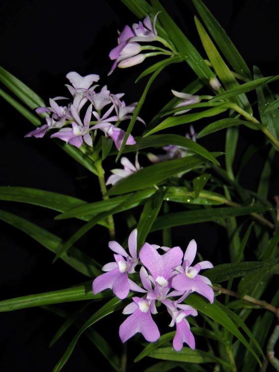 Epidendrum centropetalum Epiden14