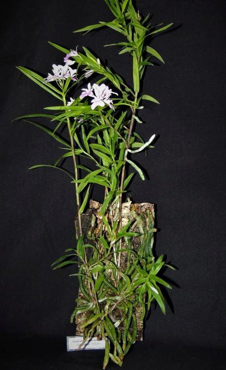 Epidendrum centropetalum Epiden15