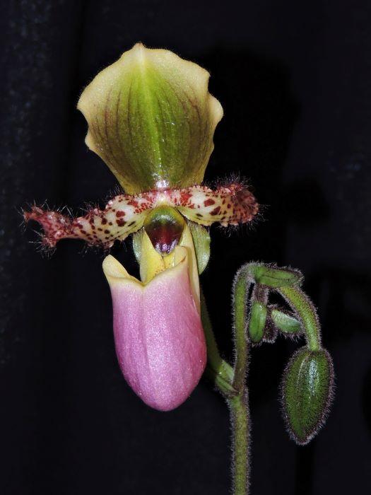 Paphiopedilum glaucophyllum Glauco11