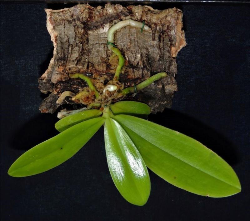 Problème Phalaenopsis cornu cerci x Speciosa Phalae11