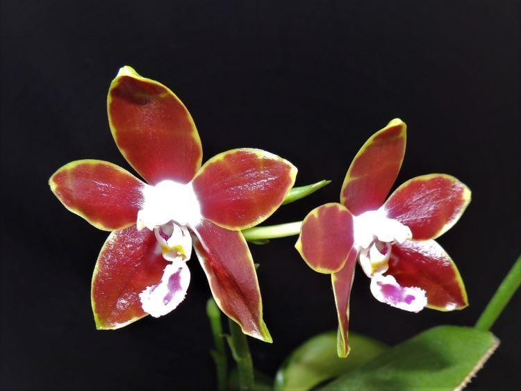 Phalaenopsis venosa Phalae13
