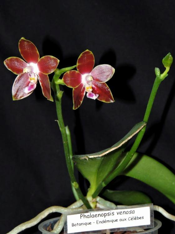 Phalaenopsis venosa Phalae14