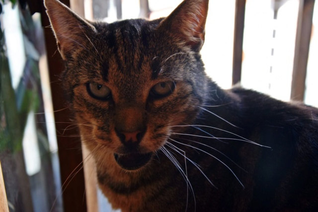 PANDA - Tigré - Né le 01/01/2007 - En FA dans le 60 38071410