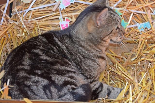 PANDA - Tigré - Né le 01/01/2007 - En FA dans le 60 38071510