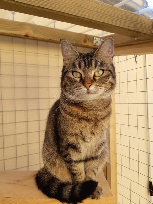 XENA - Tabby - Née le 01/05/2015 - En FA dans le 60 40506310