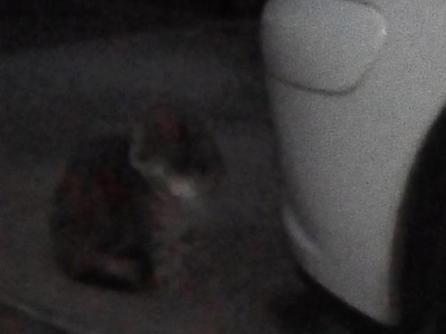 DINAH - Tabby Grise - Née le 15/06/2012 - En FA dans le 80 43108210