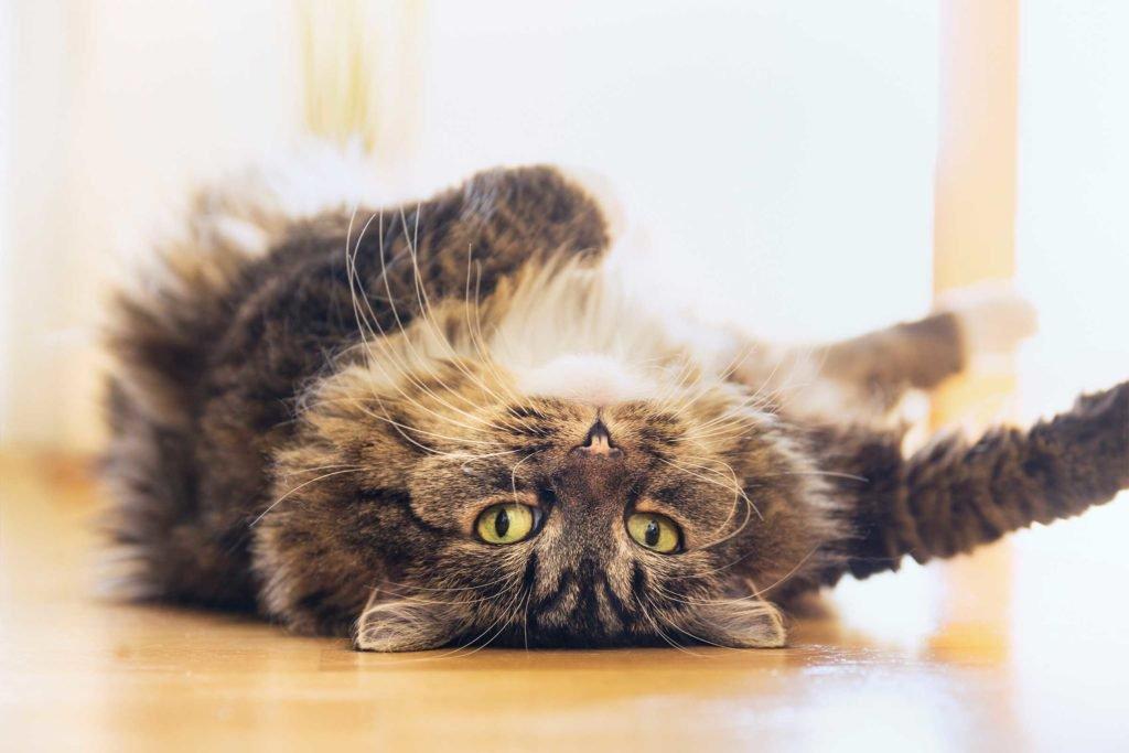 13 faits amusants sur les chats 15-sin10