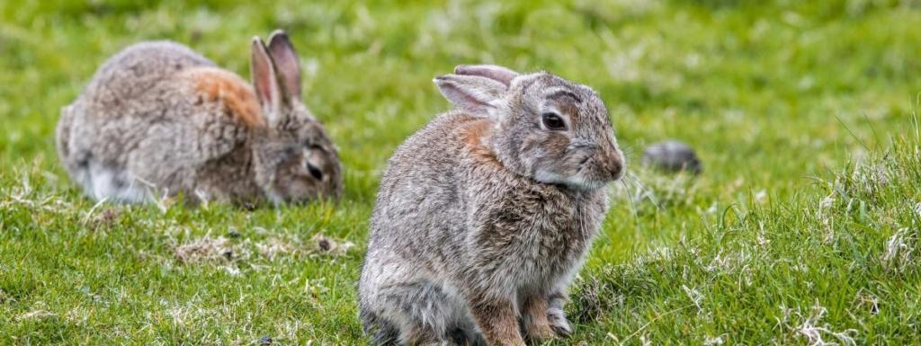 """Côtes d'Armor : un """"tueur en série"""" abat une centaine de lapins domestiques 16039010"""