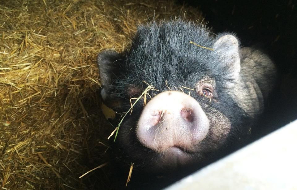 Gard: Une vente de cochons dégénère, il tire un coup de feu en l'air 960x6184