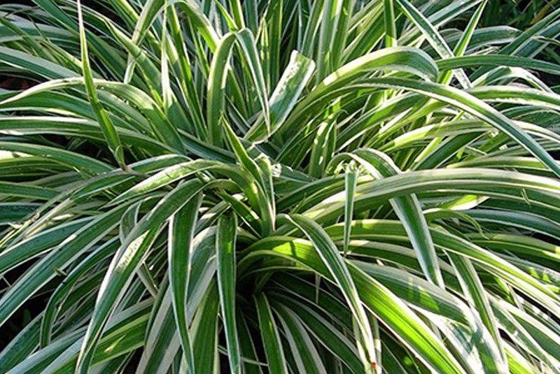 12 des meilleures plantes d'intérieur qui purifient efficacement l'air Chloro10